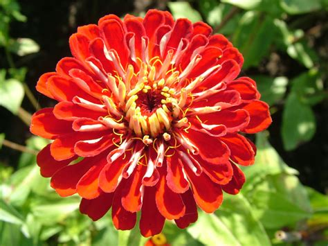 photos of flowers zinnia