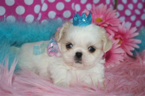 bichon shih tzu alberta bichon shih tzu puppies in calgary alberta for sale breeds picture