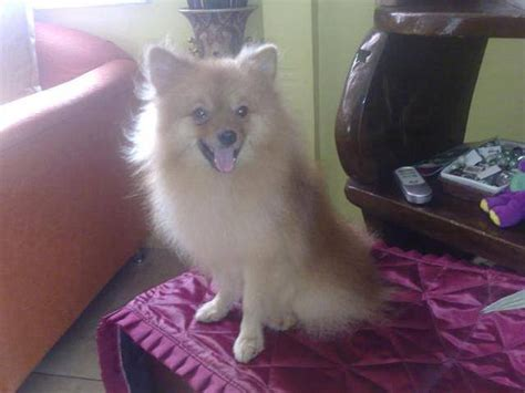 price of pomeranian in philippines pomeranian stud service w pcci cavite for sale adoption in philippines adpost