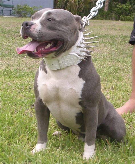 grey and white pitbull puppy 50 most beautiful pit bull pictures and photos