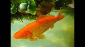 los peces de la los peces para ni 241 os 191 que son los peces youtube