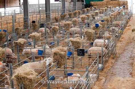 Sheep Lambing Sheds by Wayne Hutchinson Photography Sheep In Lambing Shed Cumbria