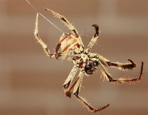 australian house spider treklens australian house spider photo
