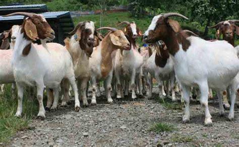 Anakan Kambing Potong jual beli kambing seluruh indonesia