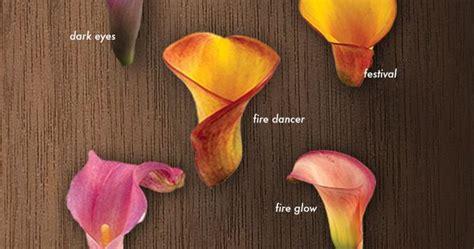 calla lilies colors a glossary of calla lilies calla colors calla