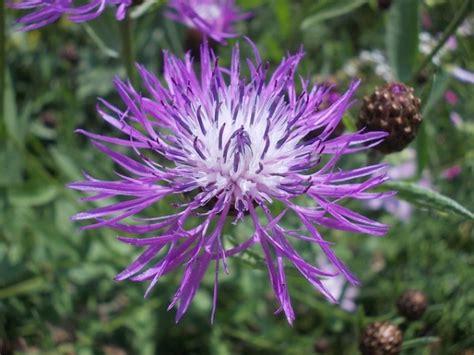fiordaliso fiore fiordaliso centaurea coltivazione