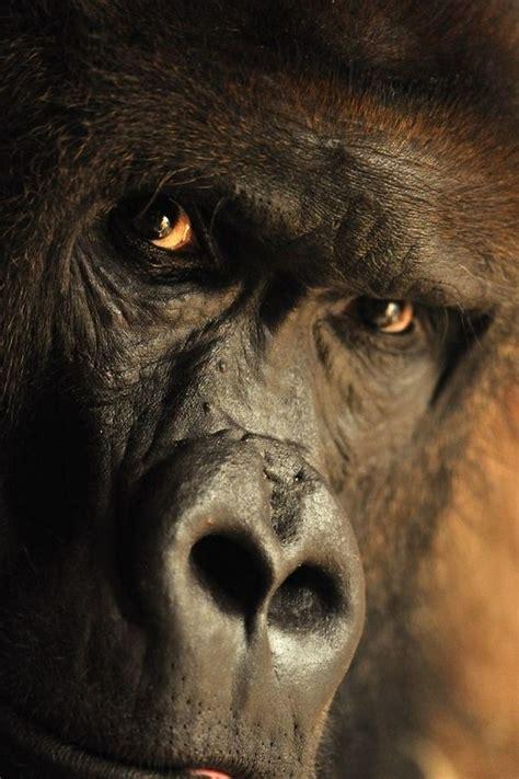 tattoo nightmares gorilla 45 best gorilla images on pinterest monkeys wild