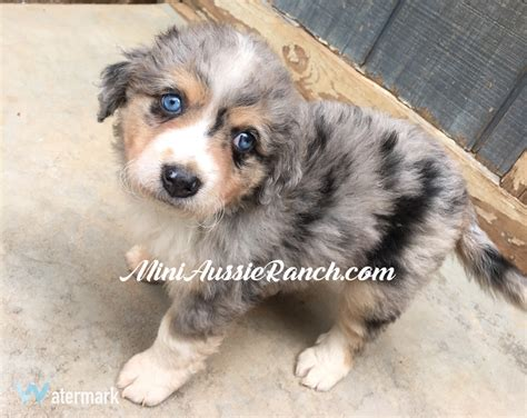 pomeranian mini australian shepherd mini australian shepherd pomeranian mix www imgkid the image kid has it