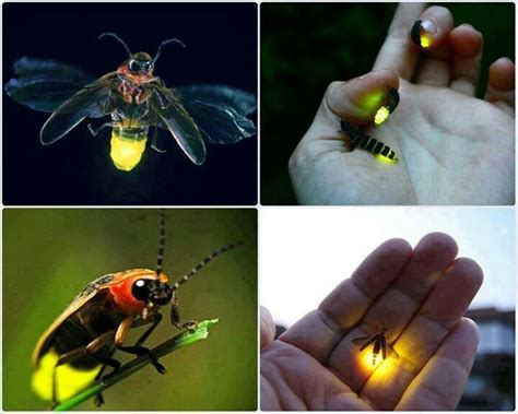 Lighting Bug by Lightning Bugs Firefly Lightning Bug