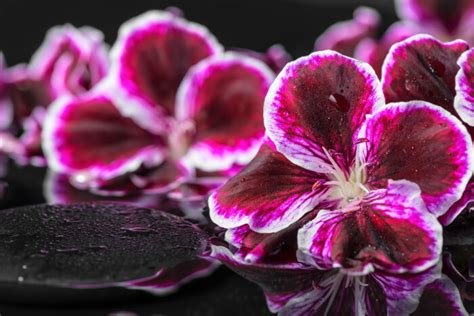 geranium flower meaning flower meaning