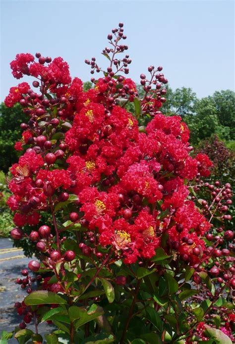 crape myrtle colors crapemyrtle tree fresh garden decor