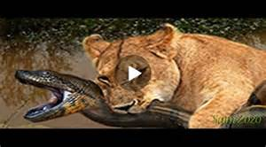 Jaguar Fighting Crocodile Leopard Vs Crocodile Jaguar Attack Anaconda