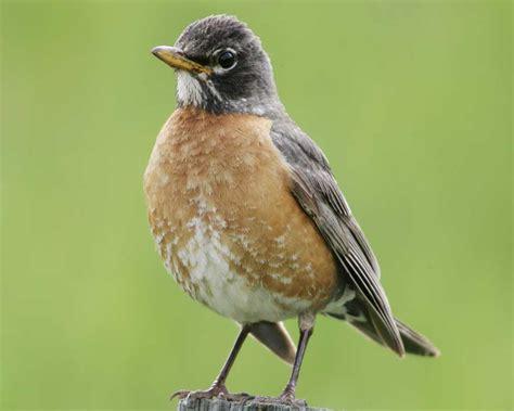 american robin audubon field guide