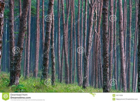 pine pattern stock pine tree pattern royalty free stock images image 18111029