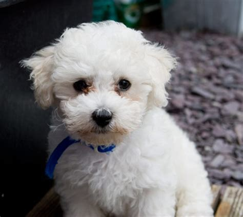 white puppy breeds white breeds bichon frise png