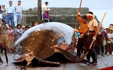 Whaling Is Still Big In Japan by 2012 Seventy Five Per Cent Of Japanese Whale Unsold