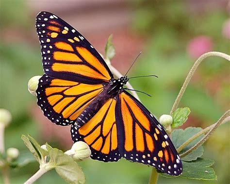 Wdd Tunik Kupu Kupu Putih kupu kupu raja si cantik yang beracun info pendidikan dan biologi