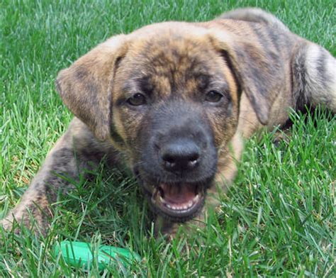 boxer mastiff mix puppies tiger lilly the boxer mastiff mix puppies daily puppy