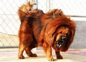 More photos of tibetan mastiff