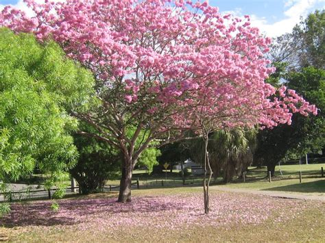 Jual Bibit Sengon Magelang tabebuya jual bibit pohon tanaman