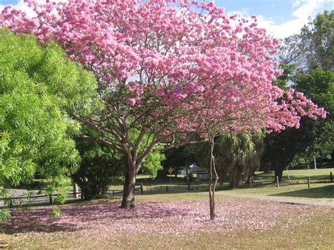 Pohon Tabebuya Trembesi Mahoni tabebuya jual bibit pohon tanaman