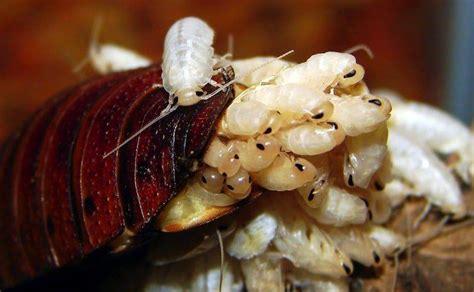 blatte in casa uova di scarafaggi e blatte in casa sei in pericolo