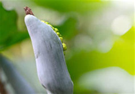 Oreilles D ãšlãšphant Plante La Graine G 233 Ante D Oreille D 233 L 233 Phant Odora D Alocasia