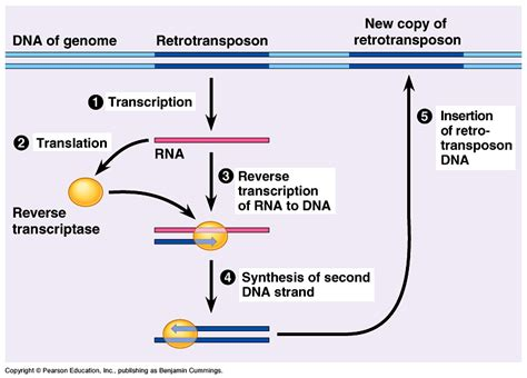 organization and control of eukaryotic genomes