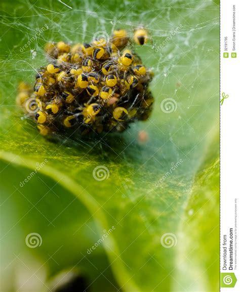 Garden Spider Nest Uk A Garden Spiders Nest Of Spiderlings Royalty Free Stock
