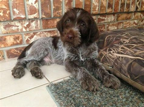 german wirehair puppies 25 best ideas about german wirehaired pointer on