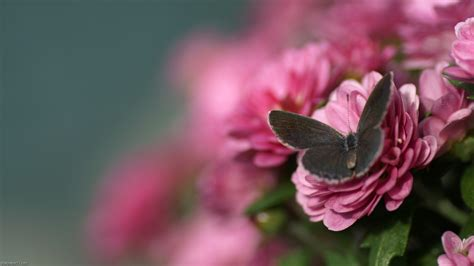 themes beautiful rose beautiful pink butterfly wallpaper pink flower wallpapers