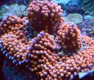 aquarium fish magazine: mushroom coral