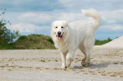 grand pyrenees great pyrenees breed information pictures characteristics facts dogtime