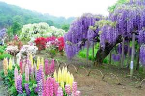 wisteria flower tunnel in japan wisteria flower tunnel in japan anime amino