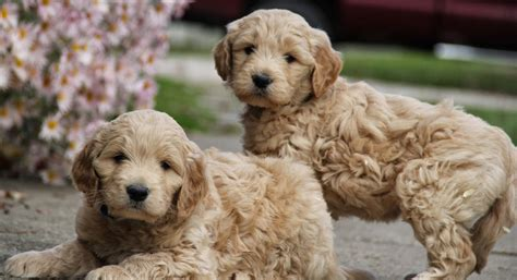 goldendoodle puppy wallpaper goldendoodle puppies pictures gallery pictures of