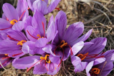 coltivare lo zafferano in vaso come coltivare zafferano aromatiche consigli per la
