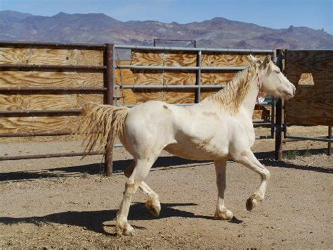 bureau of land management mustang adoption bureau of land management and burro