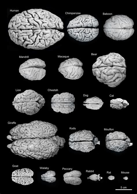 size of brain frontiers the evolution of the brain the human nature of cortical circuits and