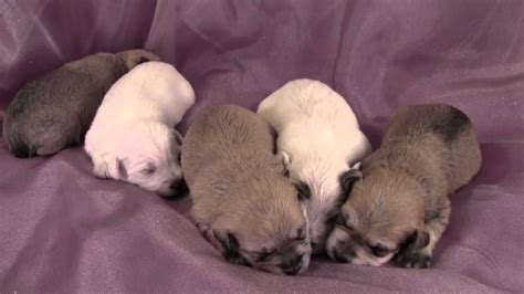 schnoodle puppies florida schnoodle dogs for sale in florida myideasbedroom