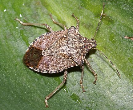 Stink Bugs Control And Learn How To Get Rid Of Stink Bugs