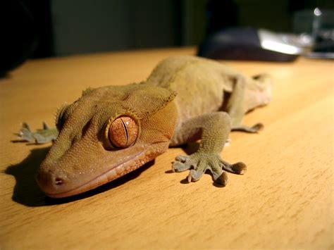crested gecko colors crested gecko colors and patterns