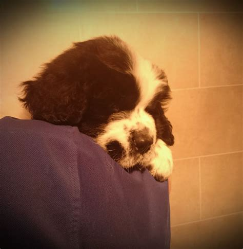 landseer puppies for sale newfoundland landseer puppies for sale plymouth pets4homes