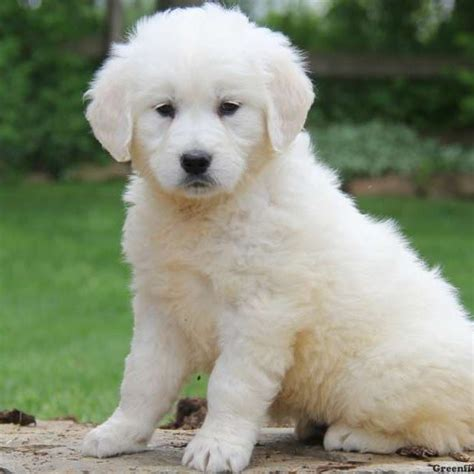 golden retriever breeders in pennsylvania golden retriever puppies for sale greenfield puppies