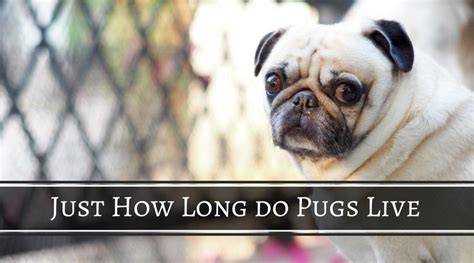how many years do pugs live just how do pugs live oct 2017 hi5dog
