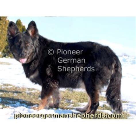 shiloh shepherd puppies for sale shiloh shepherd puppy for sale in gettysburg pennsylvania