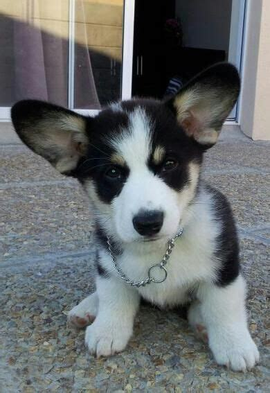 How To Detox Melts In A Puppy by 1000 Ideas About Corgi Pups On Corgis