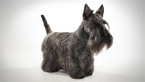 scottish dogs scottish terrier breed selector animal planet