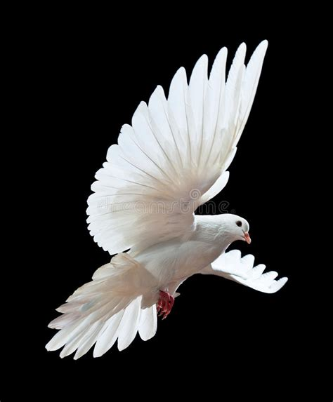 a free flying white dove isolated on a black stock photo