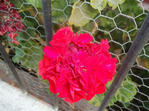 Gardenia Color Gardenia Color Rojo Flickr Photo