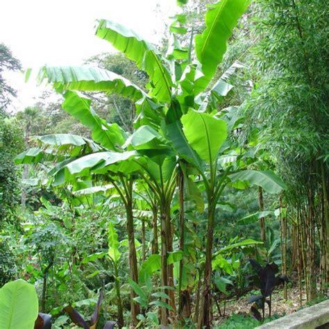 pianta di banana in vaso musa basjoo banana nana vaso 216 15cm vendita piante